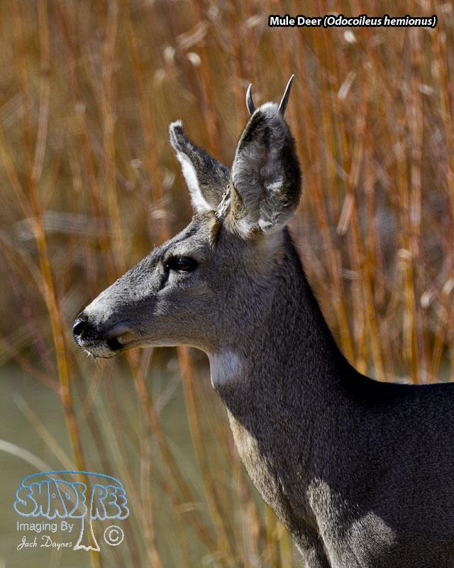 Mule Deer - Odocoileus hemionus