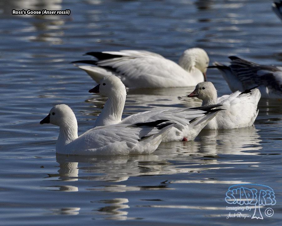 Ross's Goose - Anser rossii