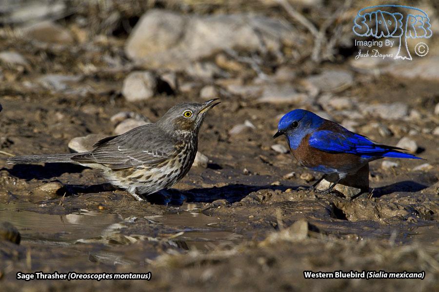 Sage Thrasher - Oreoscoptes montanus