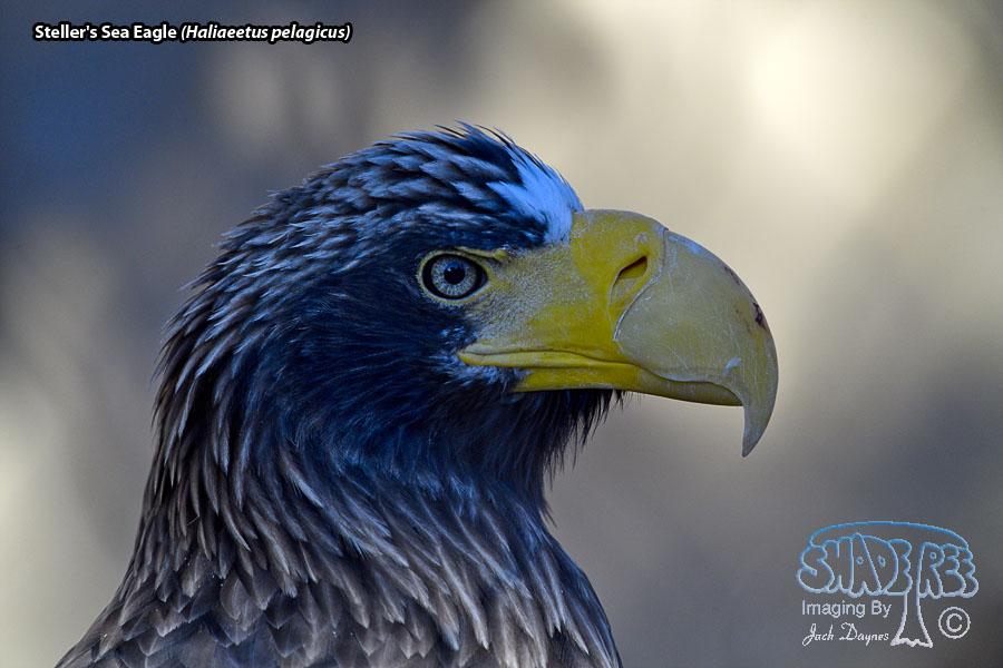 Steller's Sea Eagle - Haliaeetus pelagicus