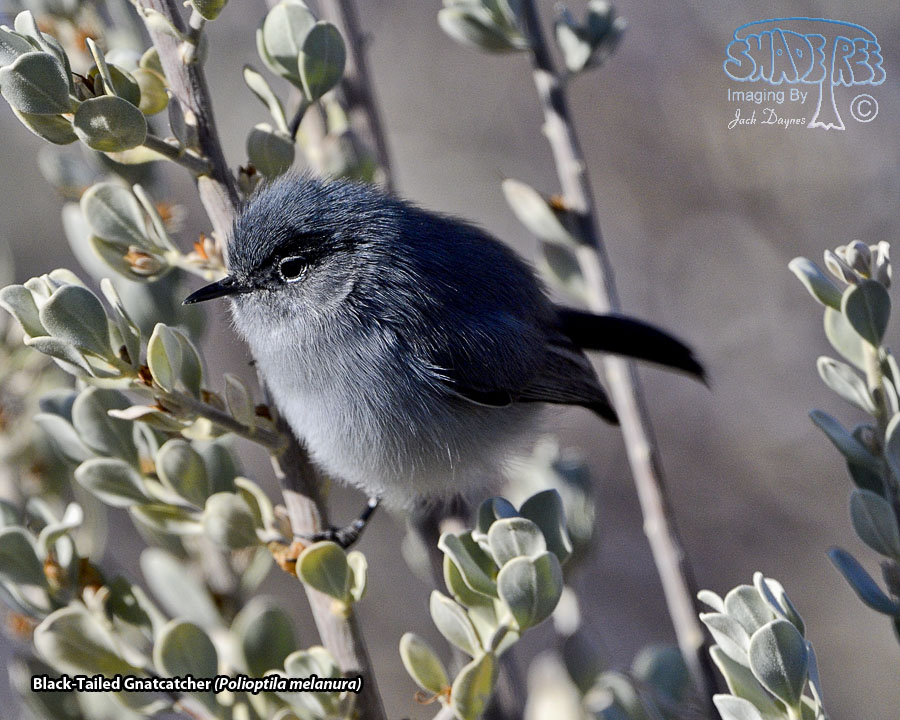 Black-Tailed Gnatcatcher - Polioptila melanura