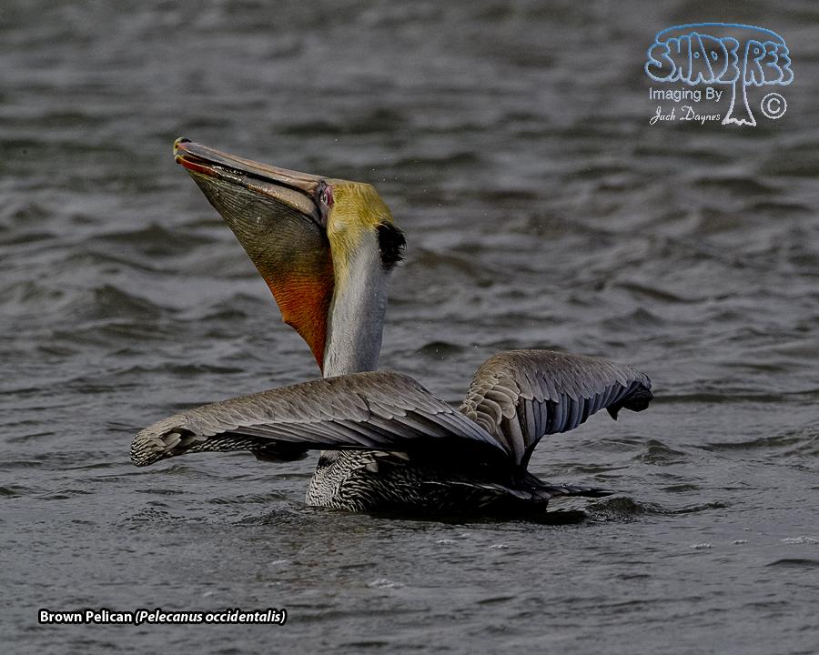 Brown Pelican - Pelecanus occidentalis
