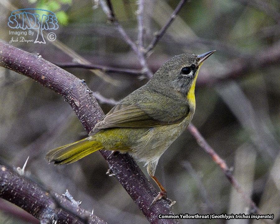 Common Yellowthroat - Geothlypis trichas insperata