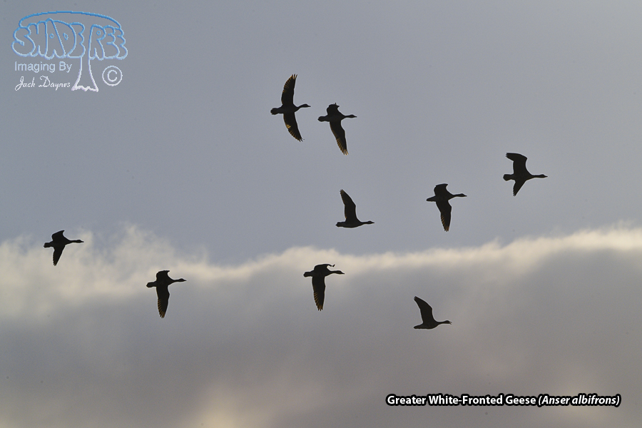 Greater White-Fronted Goose - Anser albifrons