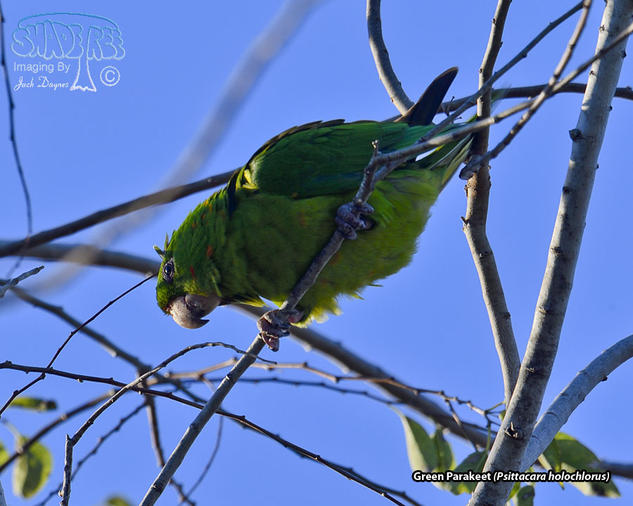 Green Parakeet - Psittacara holochlorus