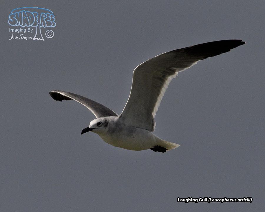 Laughing Gull - Leucophaeus atricill