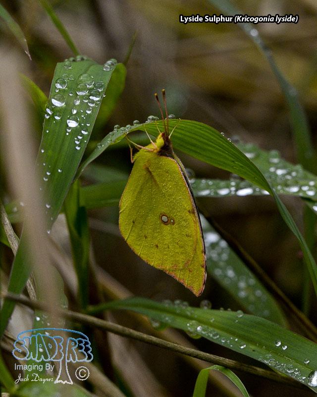 Lyside Sulphur - Kricogonia lyside