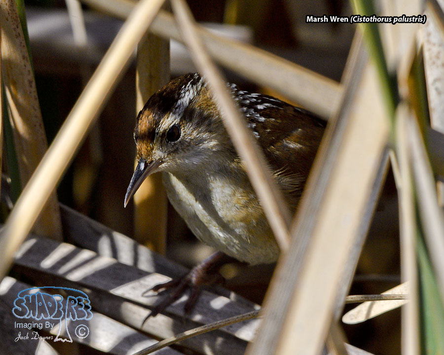Marsh Wren - Cistothorus palustris