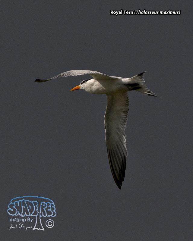 Royal Tern - Thalasseus maximus