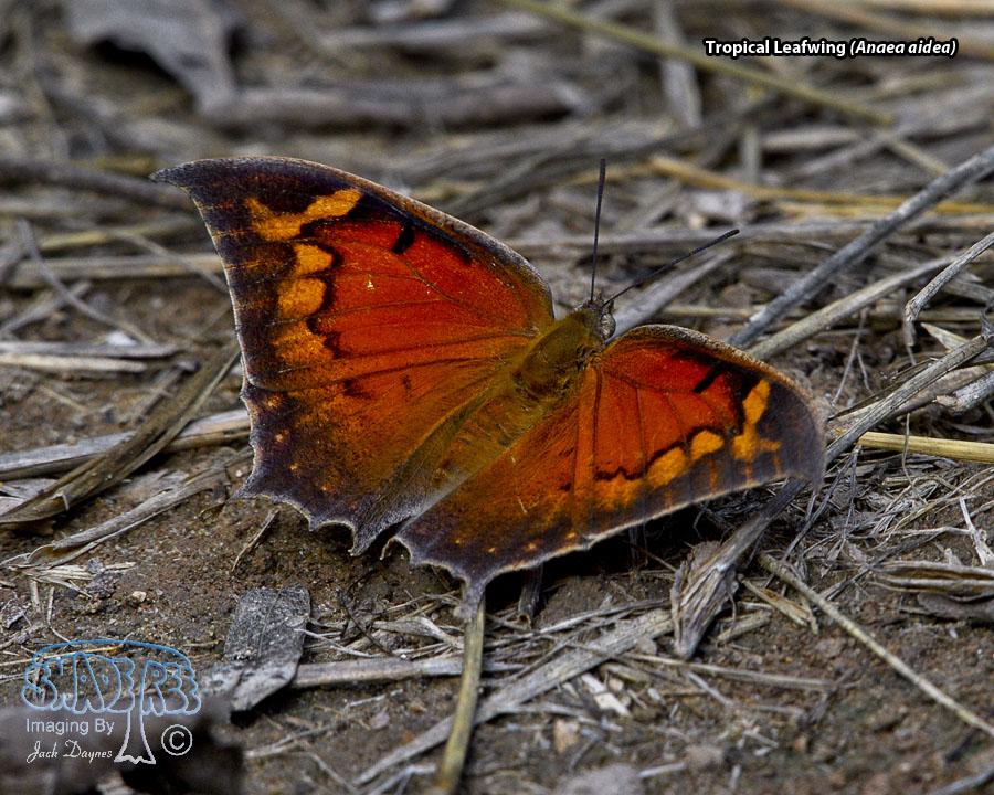 Tropical Leafwing - Anaea aidea