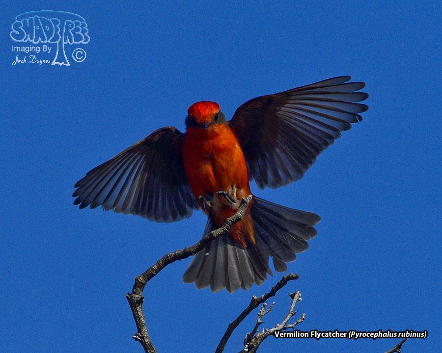 Vermilion Flycatcher - Pyrocephalus rubinus