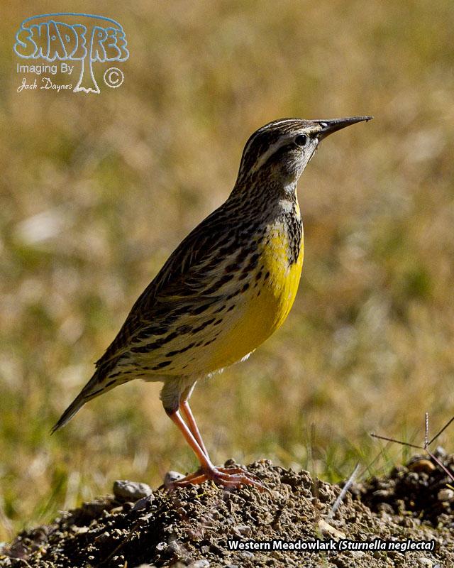 Western Meadowlark - Sturnella neglecta