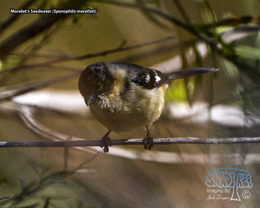 Morelet's Seedeater - Sporophila morelleti