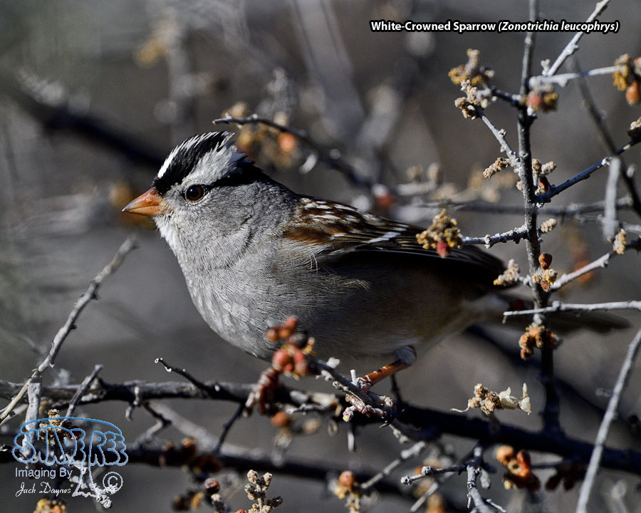 White-Crowned Sparrow - Zonotrichia leucophrys