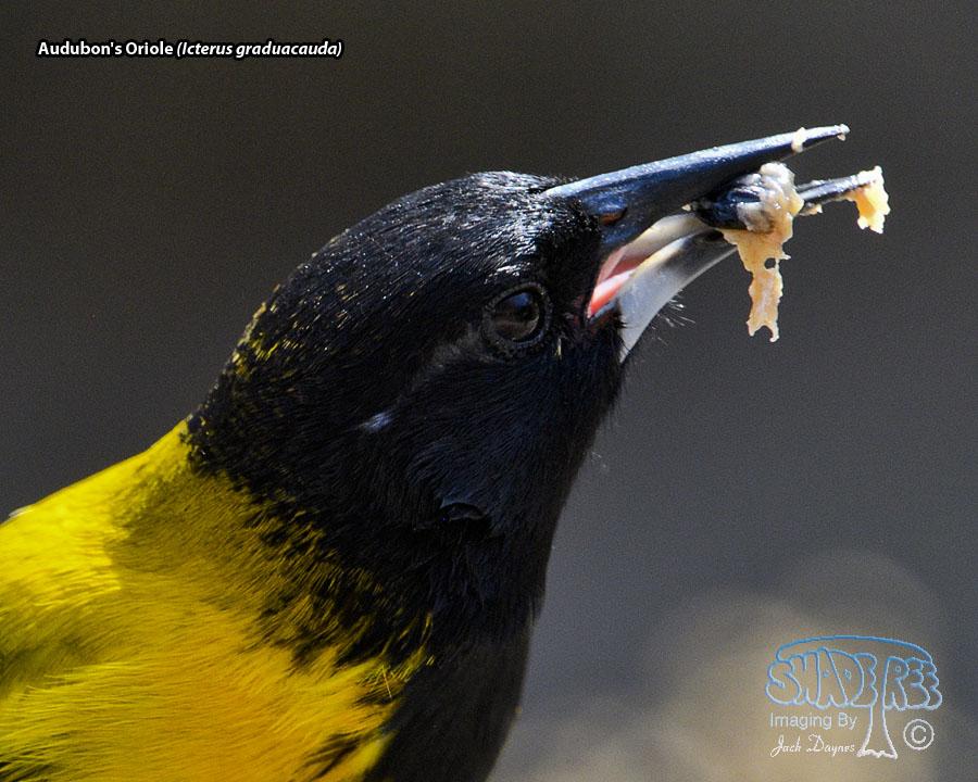 Audubon's Oriole - Icterus graduacauda