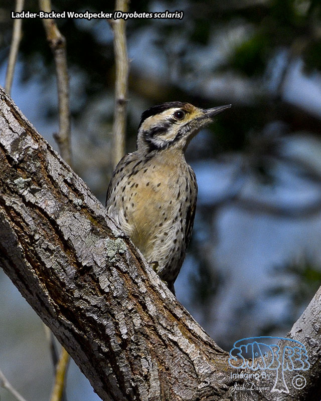 Ladder-Backed Woodpecker - Dryobates scalaris