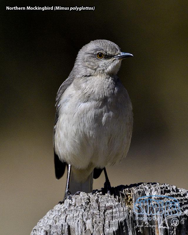Northern Mockingbird - Mimus polyglottos