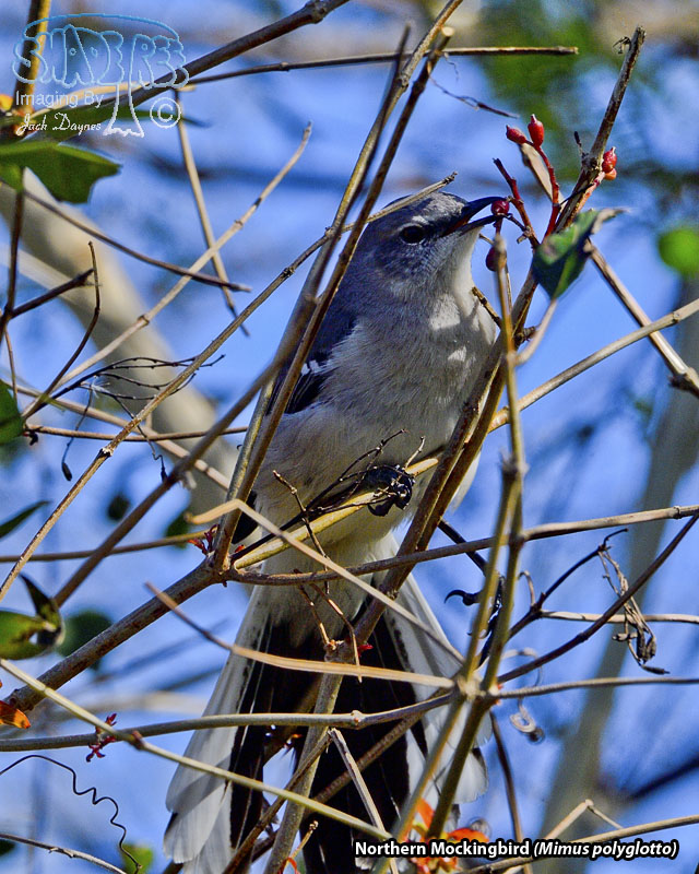 Northern Mockingbird - Mimus polyglottos