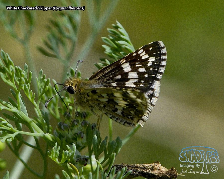 White Checkered-Skipper - Pyrgus albescens