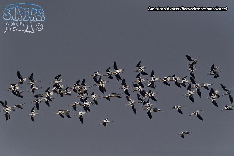 American Avocet - Recurvirostra americana