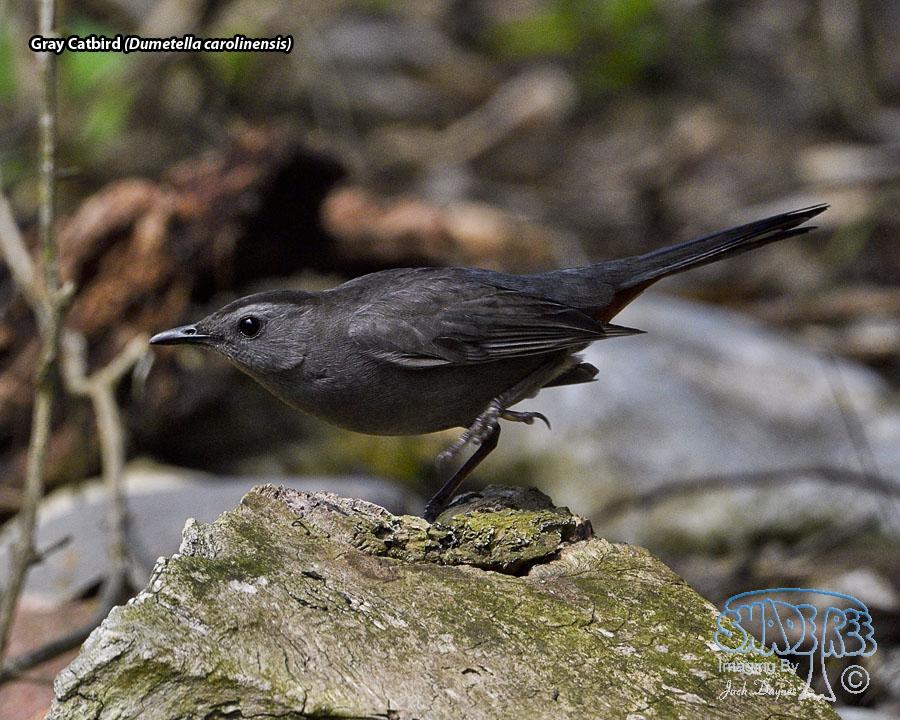 Gray Catbird - Dumetella carolinensis