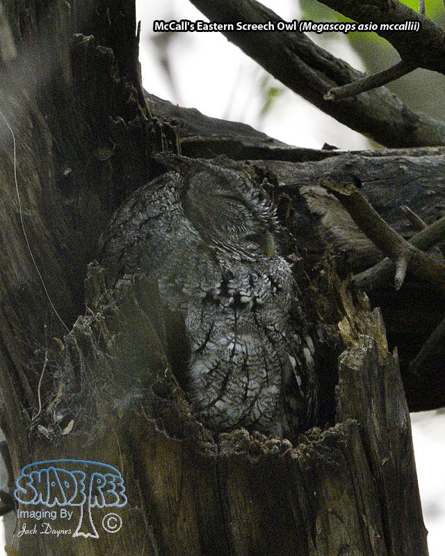 Eastern Screech-Owl - Megascops asio mccallii