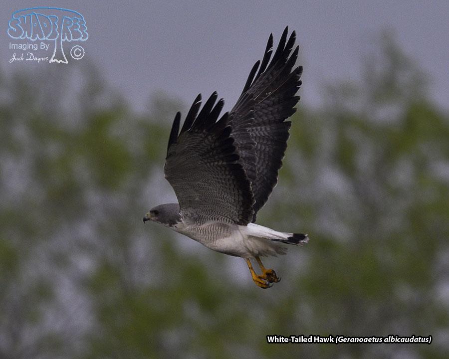 White-Tailed Hawk - Geranoaetus albicaudatus