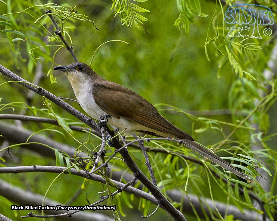 Black-Billed Cuckoo - Coccyzus erythropthalmus