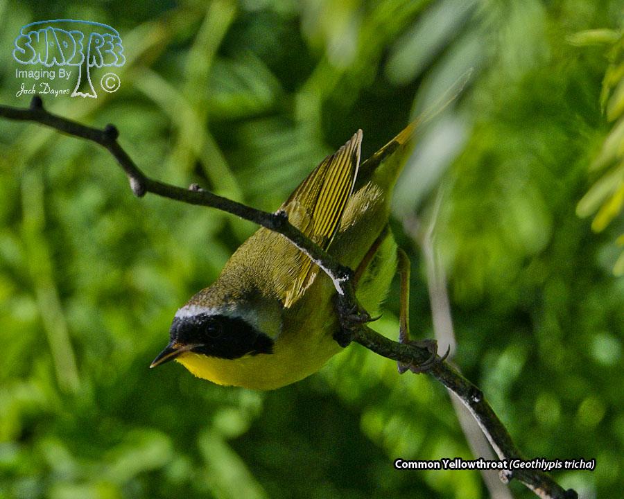 Common Yellowthroat - Geothlypis tricha