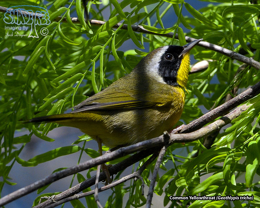 Common Yellowthroat - Geothlypis tricha