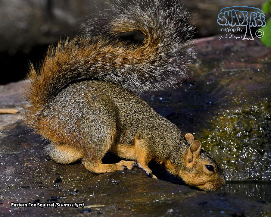 Eastern Fox Squirrel - Sciurus niger