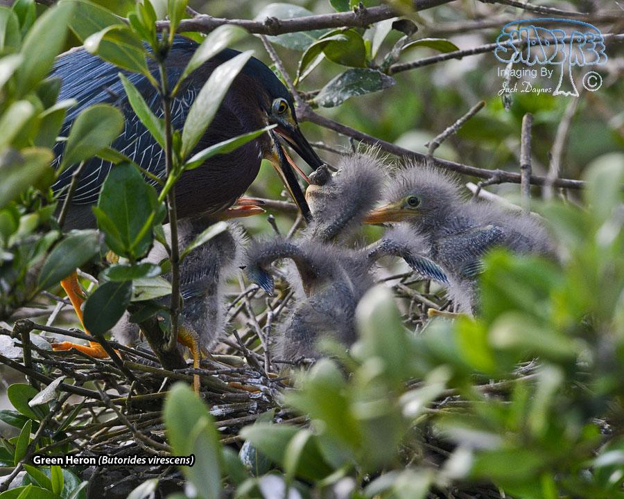 Green Heron - Butorides virescens