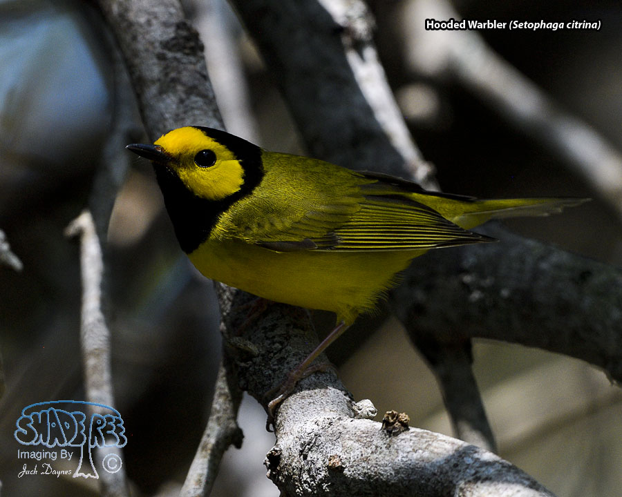 Hooded Warbler - Setophaga citrina