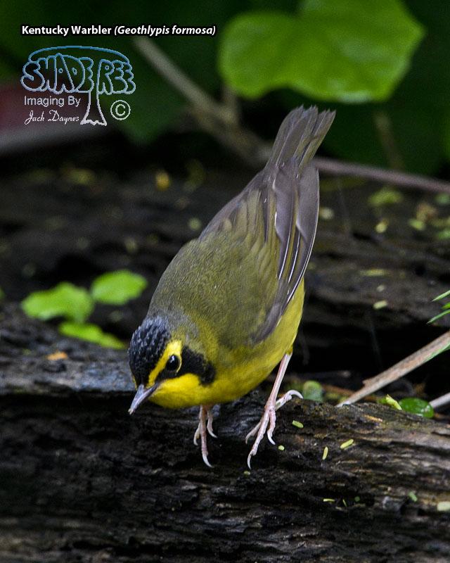 Kentucky Warbler - Geothlypis formosa