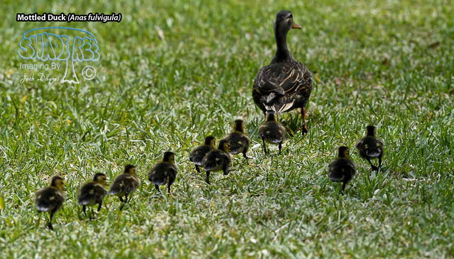 Mottled Duck - Anas fulvigula