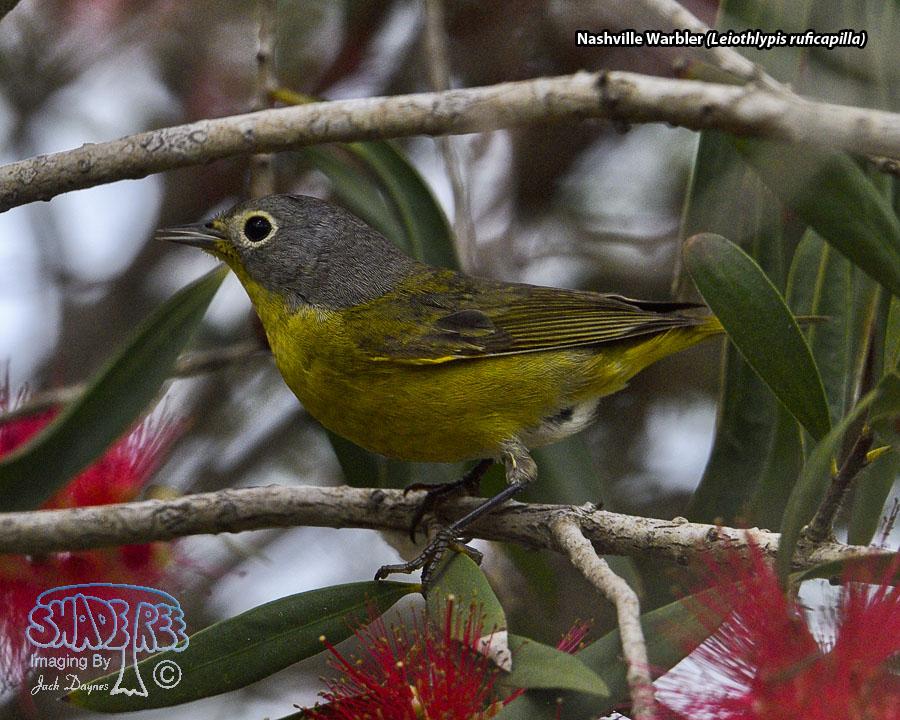 Nashville Warbler - Leiothlypis ruficapilla