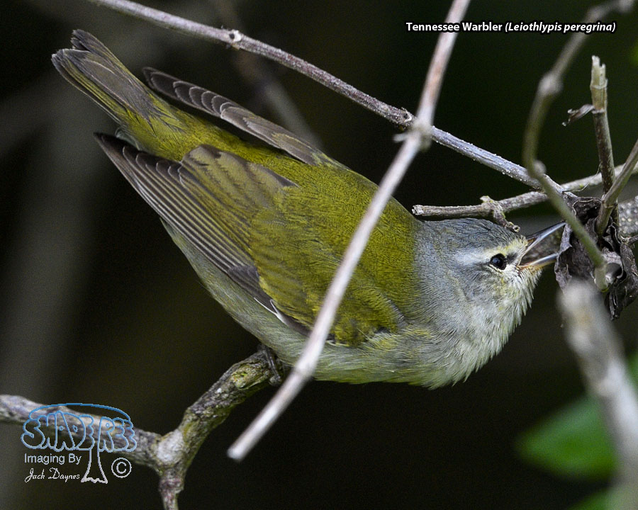Tennessee Warbler - Leiothlypis peregrina