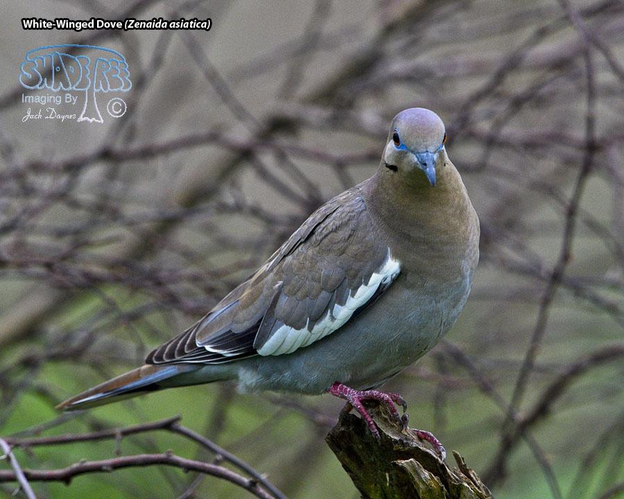White-Winged Dove - Zenaida asiatica