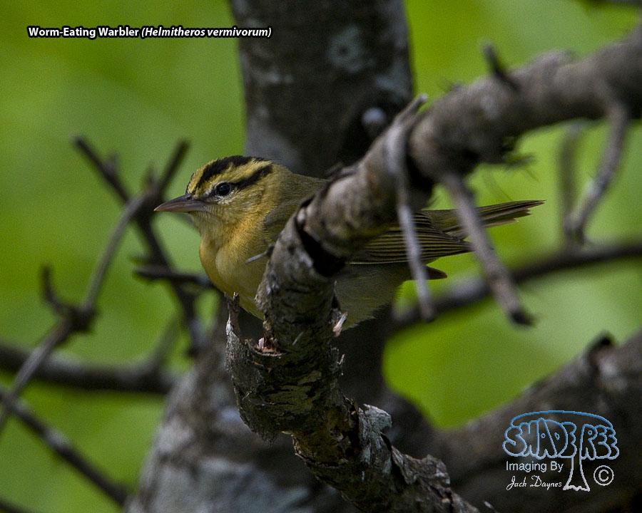 Worm-Eating Warbler - Helmitheros vermivorum
