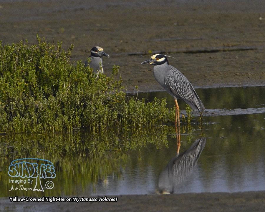 Yellow-Crowned Night-Heron - Nyctanassa violacea
