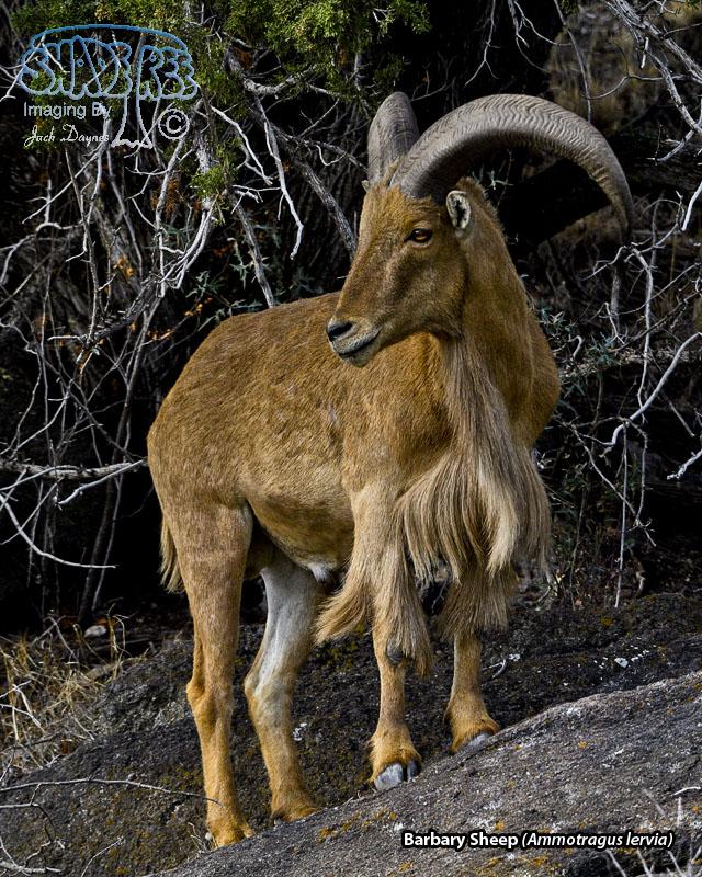Barbary Sheep - Ammotragus lervia
