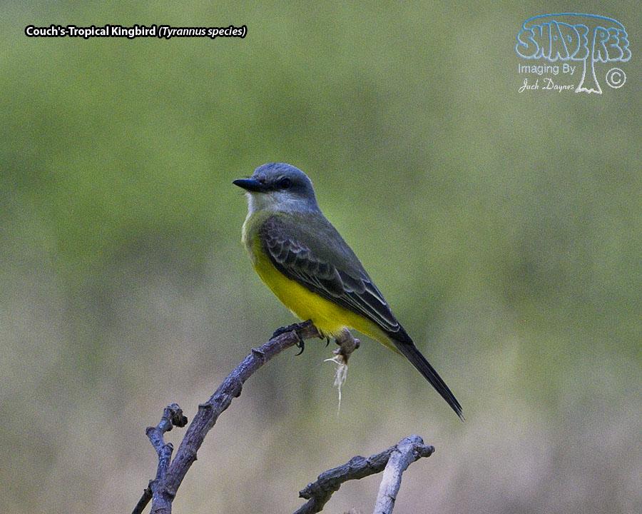 Couch's-Tropical Kingbird - Tyrannus species