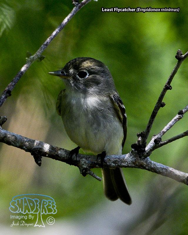 Least Flycatcher - Empidonax minimus