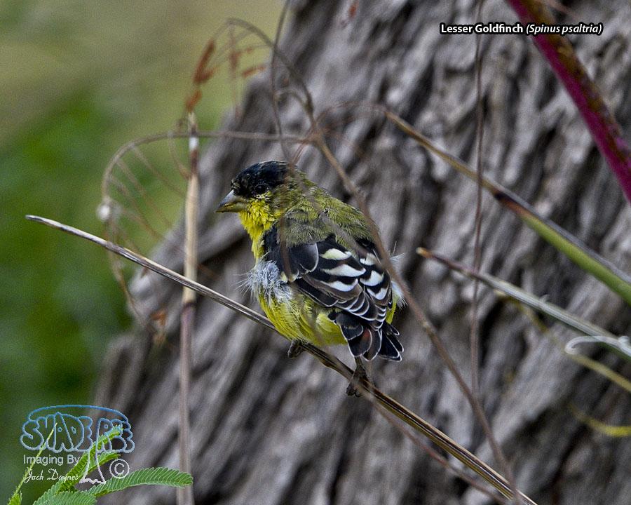 Lesser Goldfinch - Spinus psaltria