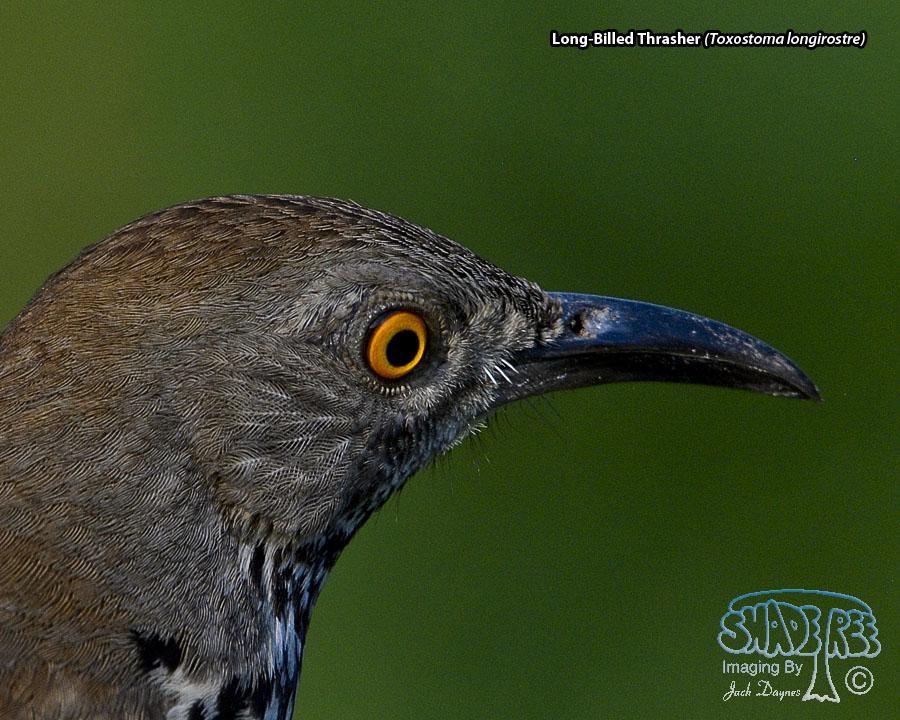 Long-Billed Thrasher - Toxostoma longirostre