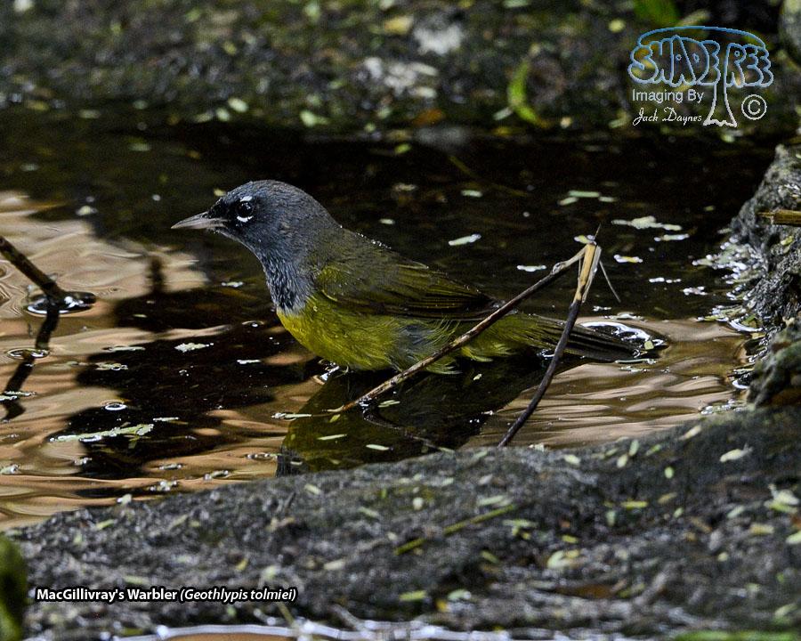 MacGillivray's Warbler - Geothlypis tolmiei