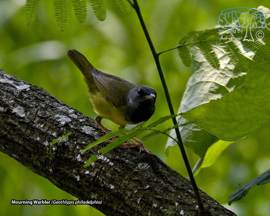 Mourning Warbler - Geothlypis philadelphia