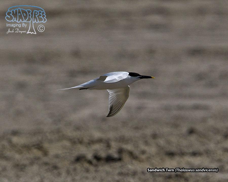 Sandwich Tern - Thalasseus sandvicensis