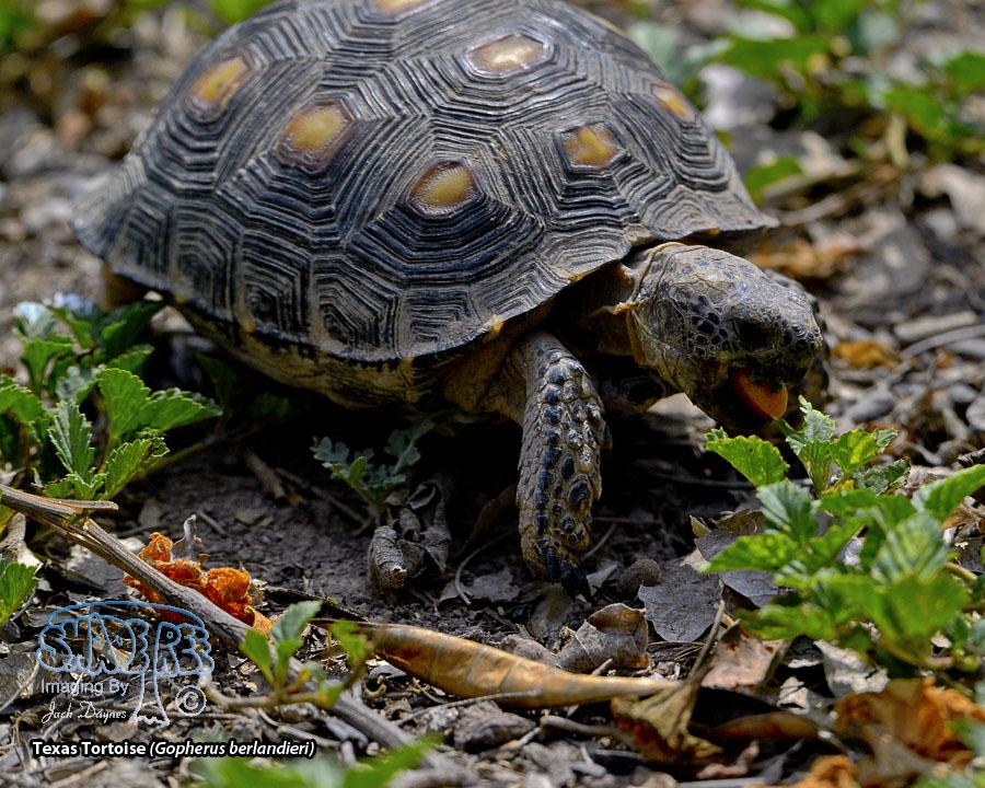 Texas Tortoise - Gopherus berlandieri